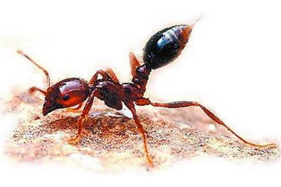 小区附近发现红火蚁,红火蚁有什么危害?