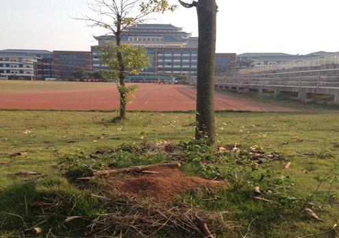 天鹰对广西民族大学相思湖学院进行红火蚁灭治工作