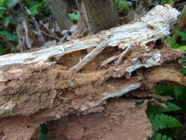 白蚁对速生桉的危害及如何防治-天鹰