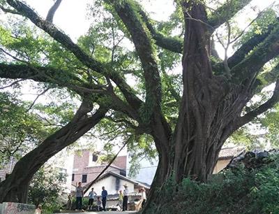 天鹰名木古树救治