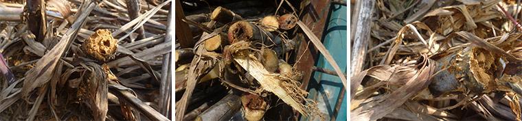 被虫害啃噬的甘蔗